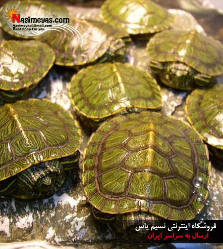 فروشگاه آنلاین نسیم یاس - محصول -لاکپشت گوش قرمزفروش لاک پشت های دوزیست سبز