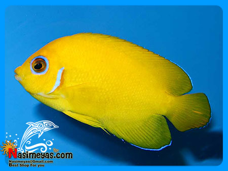 فروش فرشته کوتوله لیمویی - Lemonpeel Angelfish