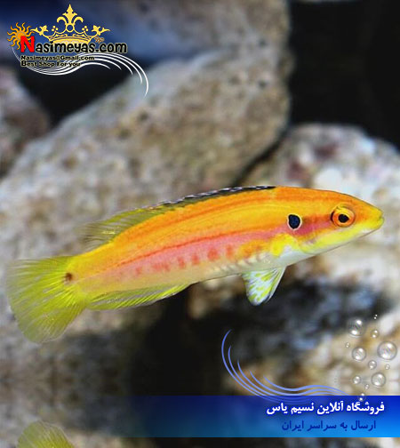 فروش ماهی هاگ فیش زرد دو خال