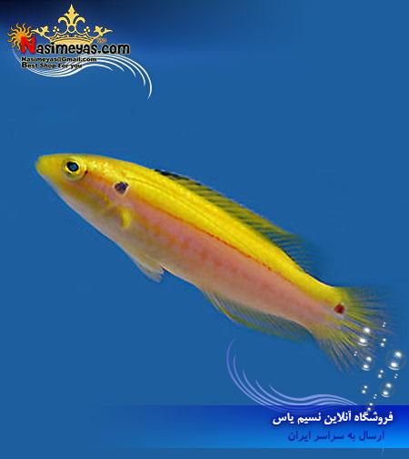 فروش ماهی هاگ فیش زرد دو خال bodianus bimaculatus