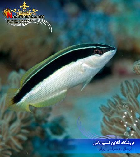 فروش ماهی راس کوریس نوار مشکی