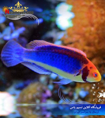 فروش ماهی راس فرشته سولون نر cirrhilabrus solorensis